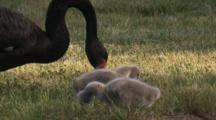 An Adult Black Swan With Two Cygnets Forages On Grass