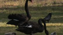 A Black Swan With Cygnets Sees Off A Raven