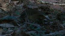 A Scrubwren Forages In Leaf Litter