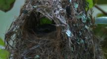 A Gerygone Sits In Its Nest And Observes
