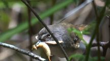 A Scrubwren Fetched A Beak-Full Of Protein