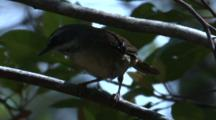 A Scrubwren Flies Off A Branch