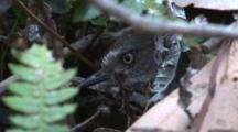 A Scrubwren Carefully Looks Out Of Its Nest Under Leaf Litter