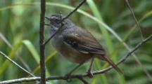 Perched On A Branch, A Scrubwren Sings And Observes Its Surroundings