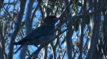 A Dollarbird, Perched On A Branch, Observes Its Neighbourhood,