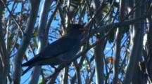 A Dollarbird Observes Its Surroundings And Flies Off