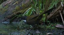 A Whipbird On The Bank Of A Creek Flies Off