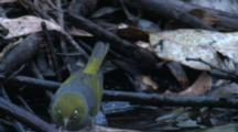 A Silvereye And A Fantail Take Turns Bathing In A Puddle