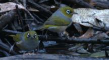 A Flock Of Silvereyes Find Enjoyment At A Waterhole