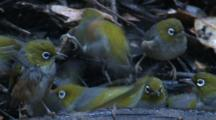 A Large Flock Of Silvereyes Find Enjoyment At A Waterhole