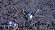 Soldier Crabs Fight On A Mudflat