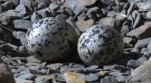 Eggs Of The Sooty Oystercatcher