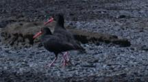 Sooty Oystercatchers Walk On A Rocky Shore