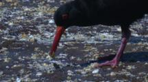 A Sooty Oystercatcher Eats A Shell And Walks Away