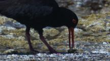A Sooty Oystercatcher Separates The Flesh From A Shell And Eats It
