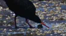 Sooty Oystercatcher Hacks Off A Shell, Removes The Flesh And Eats It