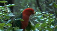 A King-Parrot Forages On The Flower Buds Of A Bush