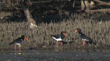 Pied Oystercatchers Forage Near Mangrove Growth