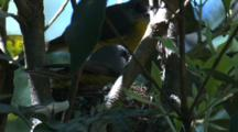 A Robin In The Nest Takes Delivery Of A Snack From Its Mate