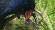 A Swamphen Collects Aquatic Plant Roots From Below The Water