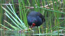 A Swamphen Feeds On Aquatic Plants From Below The Water
