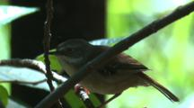 A White-Browed Scrubwren Chirps And Flies Off