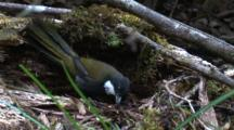 An Eastern Whipbird Forages On A Decayed Tree