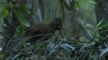 An Eastern Whipbird Forages In Ground Cover