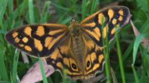 A Butterfly Stops For A Moment On Grass, Possibly Laying Eggs