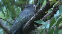 A Juvenile Gang-Gang Cockatoo In A Tree Begs For Food