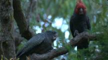 A Gang-Gang Cockatoo Tries To Regurgitate Food For His Begging Chick