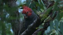 A Male Gang-Gang Cockatoo, Perched On A Branch, Observes
