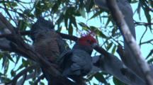 A Male And Female Gang-Gang Cockatoo Preen Each Other