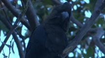 A Male Glossy Black-Cockatoo Perched On A Branch