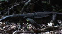 A Lace Monitor Lurks About In The Undergrowth