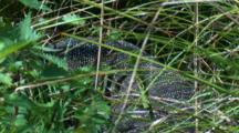 A Lace Monitor Hunts For Prey In Tall Grass