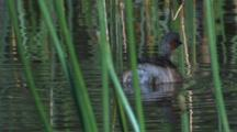 A Male Australasian Grebe Swims In The Reed And Dives