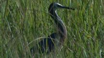 A White-Faced Heron Forages In Tall Grass