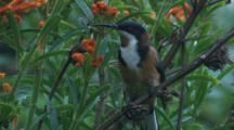 A Spinebill On A Dry Flower Stalk Observes Its Surroundings