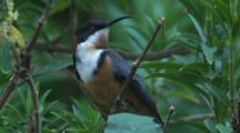 A Spinebill On A Dry Flower Stalk Can't Decide To Fly