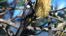 A Honeyeater Forages On A Banksia Cone