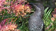 A Wattlebird Forages On Grevillea Bloom