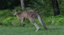 A Male Kangaroo Hops Along The Margin Of A Forest