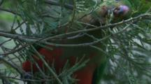 A Female King-Parrot Forages On An Acacia Tree