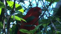 A Male King-Parrot Forages On A Bush