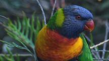 A Rainbow Lorikeet On A Bush Calls And Walks Away