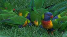 Fights Can Erupt During A Feeding Frenzy Among Lorikeets