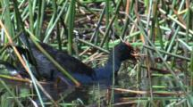 A Purple Swamphen Delivers Nesting Material