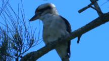 A Laughing Kookaburra Preens While Watching Nearby Occurrences
