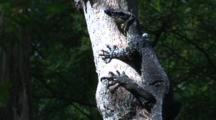 A Lace Monitor Rests On A Tree Until Danger Passes
